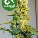 Milkyway (Kiwi Seeds) féminisée