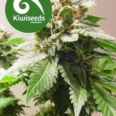 Mt Cook (Kiwi Seeds) féminisée