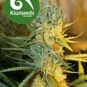 Ray's Choice (Kiwi Seeds) féminisée