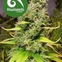 White Island (Kiwi Seeds) féminisée