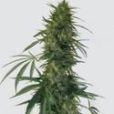 Pulsar (Buddha Seeds) féminisée