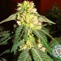 Kushadelic (Soma Seeds) féminisée