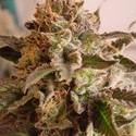 Rock Bud (Soma Seeds) féminisée