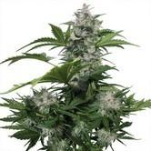 White Dwarf (Buddha Seeds) féminisée