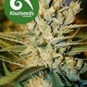 Alegria (Kiwi Seeds) féminisée