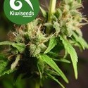 Auto Mako (Kiwi Seeds) féminisée