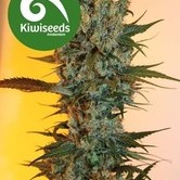 Auto Power Plant (Kiwi Seeds) féminisée