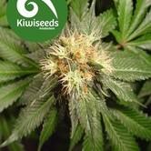 Hindu Kush (Kiwi Seeds) feminisiert