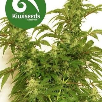 Little Dipper (Kiwi Seeds) féminisée