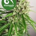 Phatt Freddy (Kiwi Seeds) féminisée