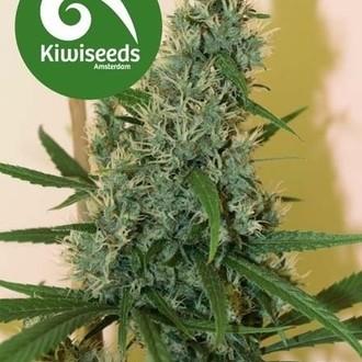 South Star (Kiwi Seeds) féminisée