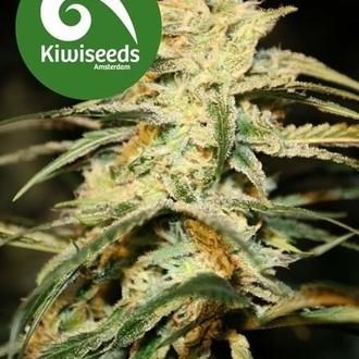 Sugar Baby (Kiwi Seeds) féminisée