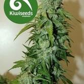 T99 (Kiwi Seeds) femminizzata
