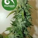 T99 (Kiwi Seeds) féminisée