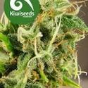 Tasman Haze (Kiwi Seeds) féminisée