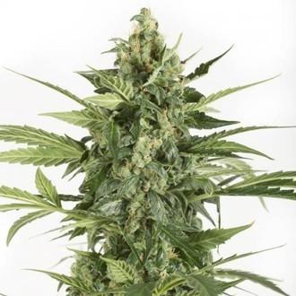 Blue Cheese Autoflowering (Dinafem) féminisée