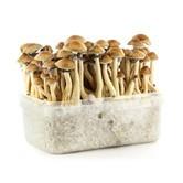100% Mycélium Kit 'Panama' (Supa Gro)