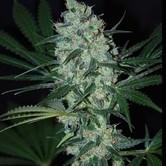 Green Love Potion (Samsara Seeds) féminisée