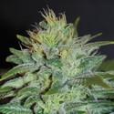 Sweet Black Angel (Samsara Seeds) féminisée