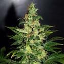Chronic Haze (World Of Seeds) féminisée