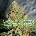 Afghan Kush Special (World Of Seeds) féminisée