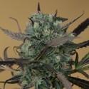 ChemDawg (Humboldt Seeds) féminisée