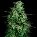 Northern Delights Auto (VIP Seeds) féminisée