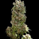 White Spanish (VIP Seeds) feminisiert