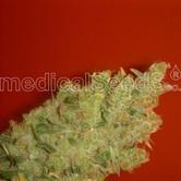 Jack La Mota (Medical Seeds) féminisée