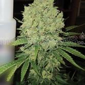 Prozack (Medical Seeds) féminisée