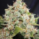 BCN Sour Diesel (Medical Seeds) féminisée