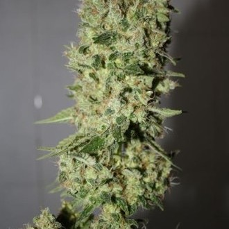 Sour Diesel (Medical Seeds) féminisée