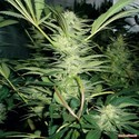 White Widow (Medical Seeds) féminisée