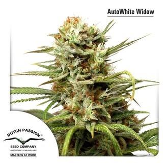 Auto White Widow (Dutch Passion) féminisée