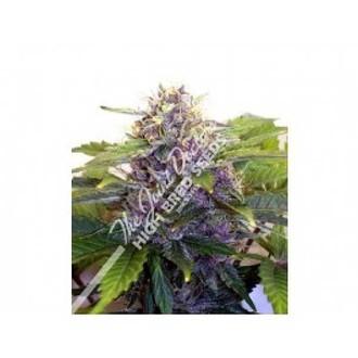 Purple Ryder (Joint Doctor) féminisée