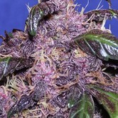 Auto Purple (Original Sensible Seeds) Femminizzata