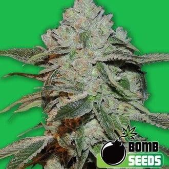 Atomic (Bomb Seeds) féminisée