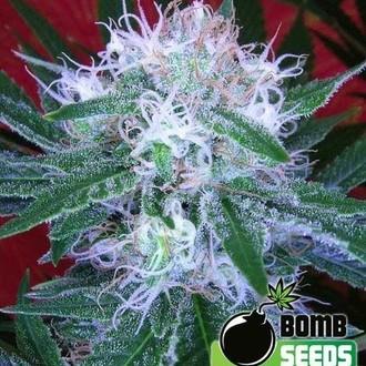 Auto Bomb (Bomb Seeds) féminisée