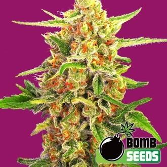 Cherry Bomb (Bomb Seeds) féminisée