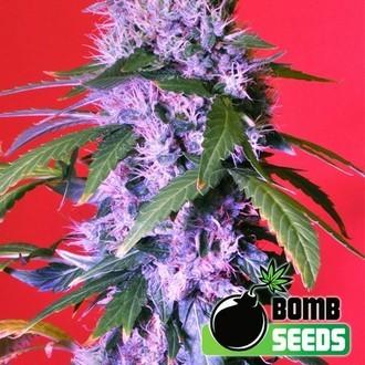 Berry Bomb (Bomb Seeds) féminisée