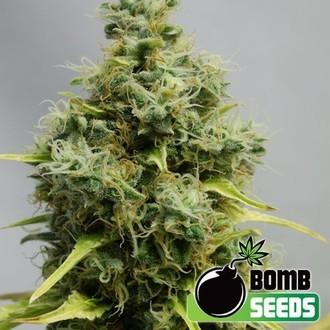 Big Bomb (Bomb Seeds) féminisée