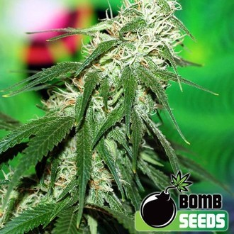 Buzz Bomb (Bomb Seeds) féminisée