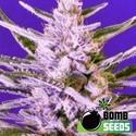 Ice Bomb (Bomb Seeds) féminisée