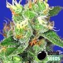 Medi Bomb 2 (Bomb Seeds) féminisée