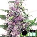 THC Bomb (Bomb Seeds) féminisée