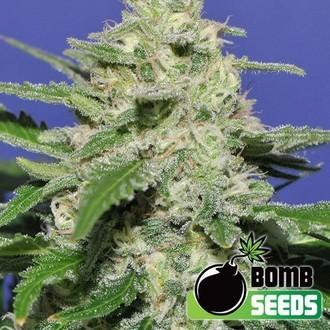 Widow Bomb (Bomb Seeds) féminisée