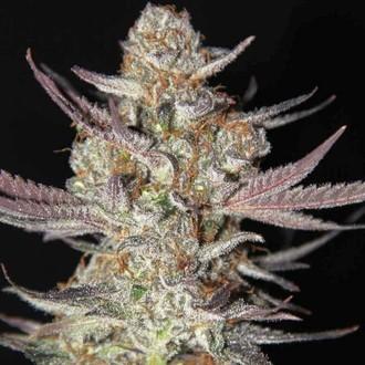 Marionberry Kush (TGA Subcool) reguliere