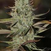 Marionberry Kush (TGA Subcool) regulär