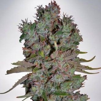 Auto Blueberry Domina (Ministry of Cannabis) féminisée
