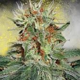 Auto Mary Jane (Ministry of Cannabis) féminisée